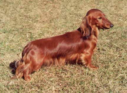 Jez.dlouh.trp. JCh Perameles z Debry / Miniature longhaired dachshund JCh Perameles z Debry